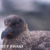Close-up of a Skua
