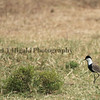 Spur-Winged Lapwing(Plover)