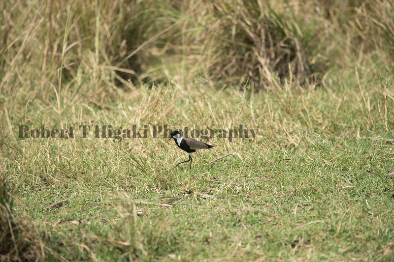 Spur-Winged Lapwing Plover