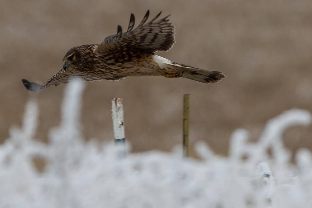 First of three harrier in flight.