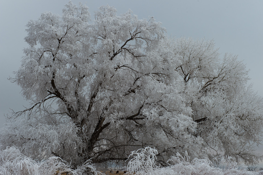 Cows on the ground under the tree, looks really cold.