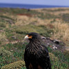 Striated Caracara, Sea Lion Island, Falklands UK