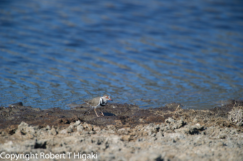 Three-banded Plover or Three-banded Sandplover, Charadrius tricollaris