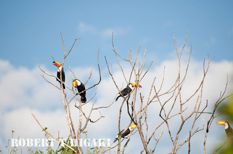 Toucans near the old Sheraton hotel, Argentina