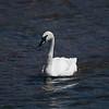 Trumpeter Swan( Cygnus buccinators )
