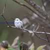 This is a rare bird: a Leucistic  Anna's Hummingbird( not an albino )