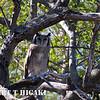 Verreaux's(Giant)Eagle-Owl( Bubo lacteus)