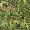 Village( Spottedbacked) Weaver