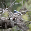 White Browed Woodshallow