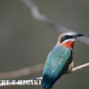 White-Fronted Bee-eater( Merops bullockaides)