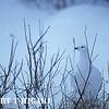 Willow Ptarmigan<br /> (Lagopus lagopus)<br /> near Churchill, Manitoba  Canada