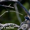 Wire-Tailed swallow( Hirundo smithii)