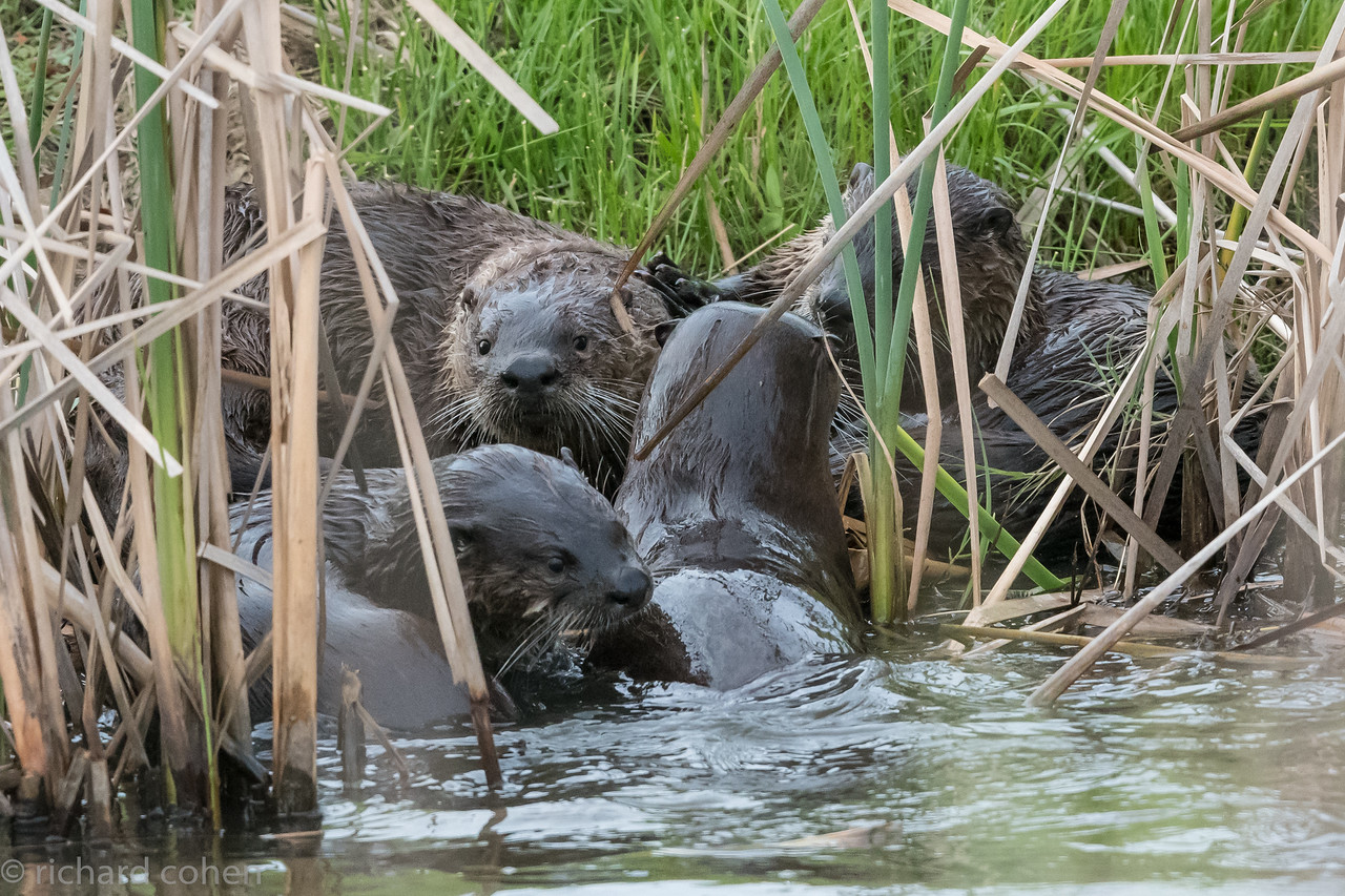River otter family, at least four if not more.