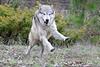 NX2_2010-05-02_022_WolfDSC_1328