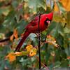 cardinalautumn