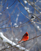 cardinalinblue
