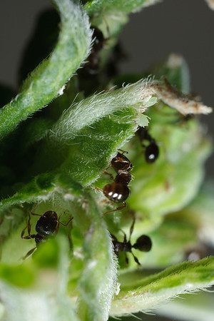 A number of pavement ants (Tetramorium caespitum) at work on a small leaf.