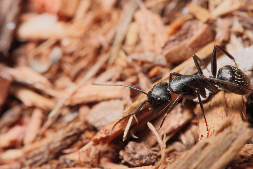 A carpenter ant worker crosses a pile of wood chips.