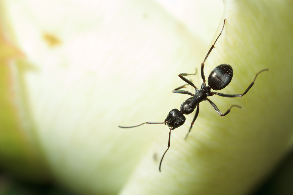 A carpenter ant (Camponotus) on a leaf.