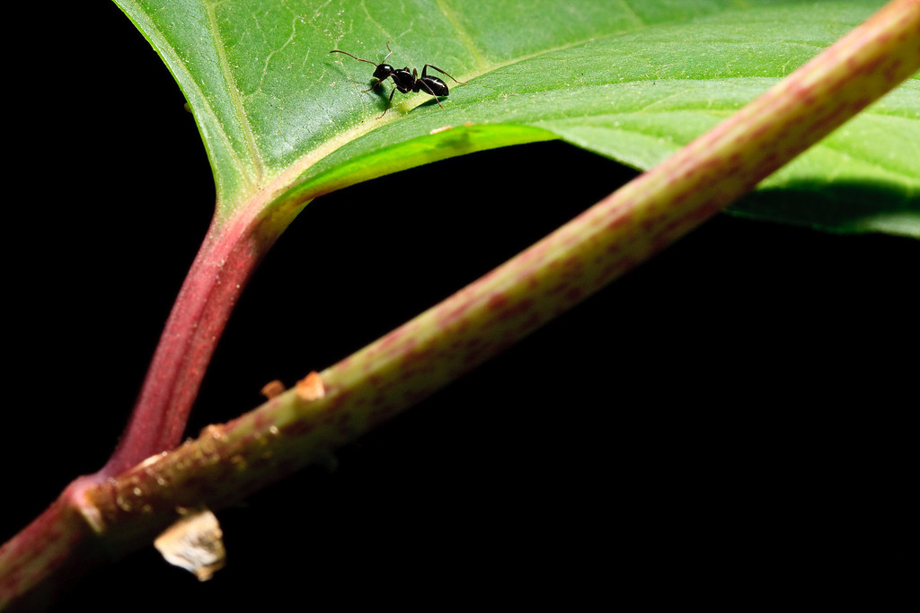Carpenter ant on Japanese knotweed