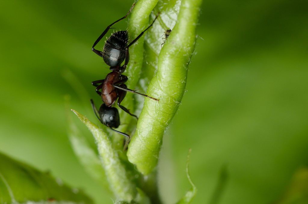 A carpenter ant working on some aphids.  This is a <i>Camponotus</i>, but see the burgundy-red thorax?  It's not <i>C. pennsylvanicus</i>, the species that farms aphids on this plant.  Maybe <i>C. novaeboracensis</i>?  I don't know if this was an individual from a nearby colony exploring, or if the earlier tenants have been displaced.
