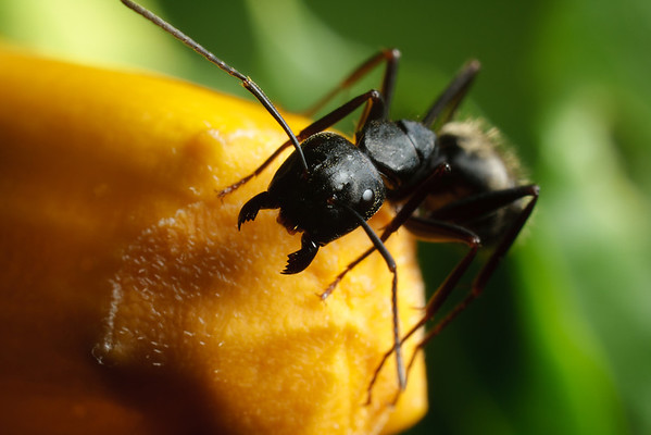 A close-up photo of a carpenter ant (Camponotus).