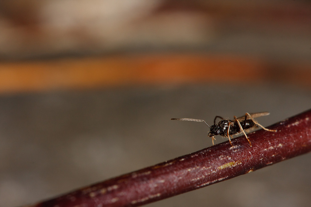 A male false honey ant (<i>Prenolepis imparis</i>) leaves the nest for the first and last time, in search of a queen to mate with.
