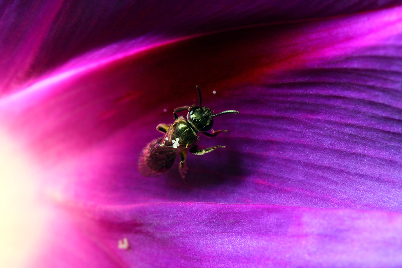 A tiny solitary bee with a few grains of pollen stuck to its back crawls along the inside of a glowing purple flower.