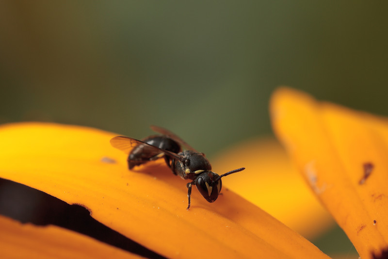 A yellow-masked bee (Hylaeus sp.) grooms on a flower petal.
