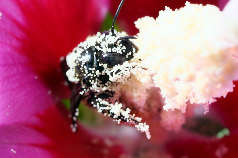 A solitary bee, barely visible beneath the pollen of a hollyhock flower, looks out at the photographer.