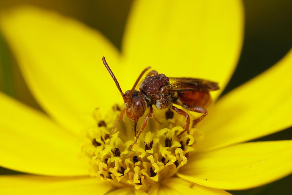 A cuckoo bee drinking nectar.