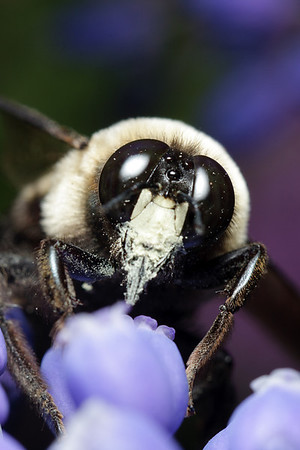A male carpenter bee (Xylocopa virginica) is dusted with pollen as he probes a flower for nectar.