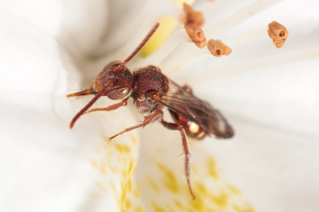 A cuckoo bee (Nomada) tastes the surface of a flower after collecting nectar.