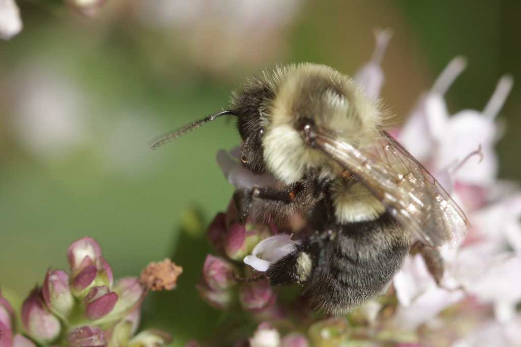 A bumble bee quickly searches through a bush for flowers she can feed from.