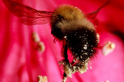 A female bumble bee (Bombus), already carrying pollen, flies toward a rhododendron flower to collect more.