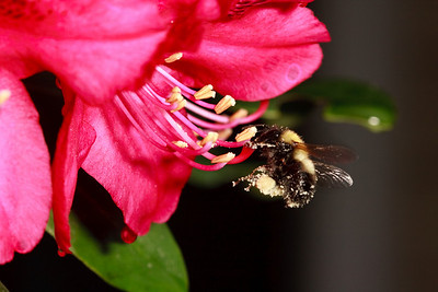 Carpenter bee, rhododendron