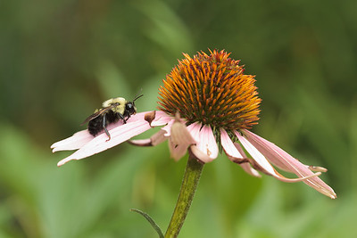 A bumble bee (Bombus) rests on an echinacea flower.