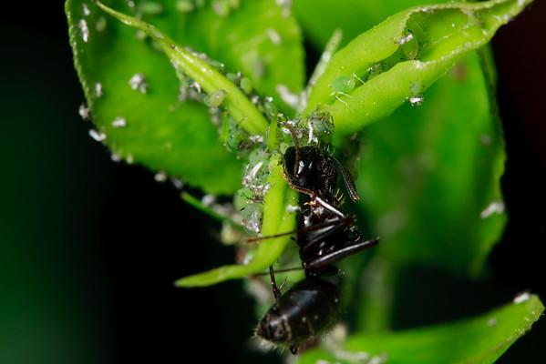 Carpenter ant collecting honeydew