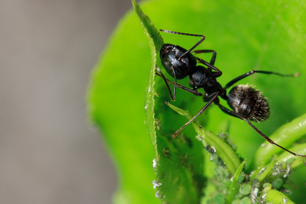 Carpenter ant, aphids