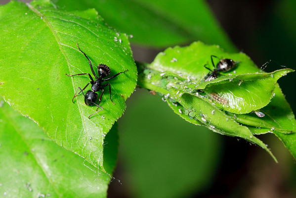 Carpenter ants, aphids