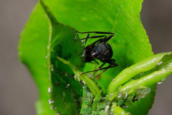 Carpenter ant, aphids