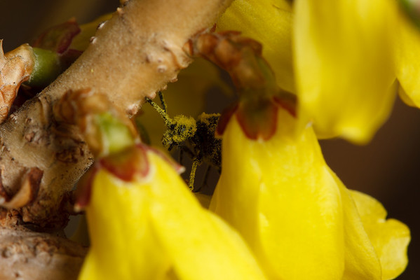A black sawfly (Dolerus), covered in forsythia pollen after drinking nectar from several flowers.