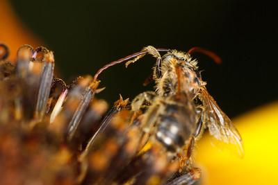 Long-Horned Bee