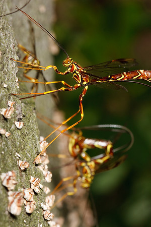 Female giant ichneumon wasps drill into a dead tree to lay their eggs near the larvae of the pigeon tremex wasp, the parasitic ichneumon's host for the next year.