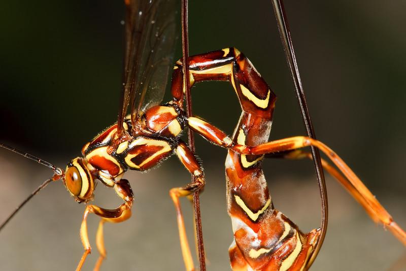 Female ichneumon wasp
