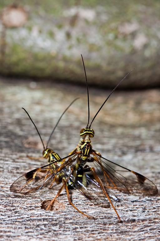 Giant ichneumon wasp