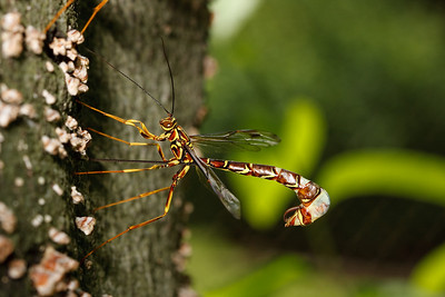 Female ichneumon wasp
