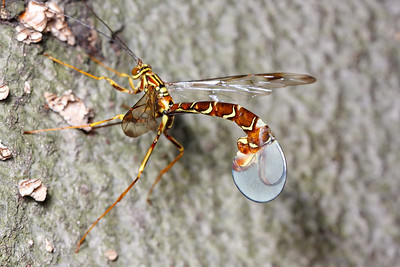A female giant ichneumon wasp (Megarhyssa macrurus) withdrawing her ovipositor from a hole in a dead tree.  She laid an egg near the larva of a pigeon tremex (a wood-boring wasp); after it hatches, it will feed on the tremex, ultimately killing it before emerging from the tree next summer as an adult.