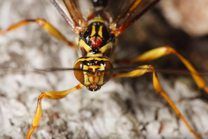 Male ichneumon wasp