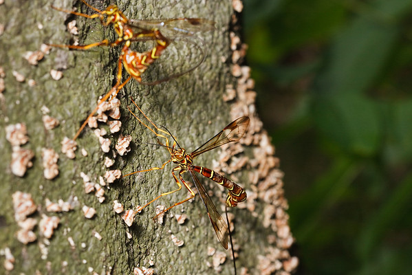 Female ichneumon wasps